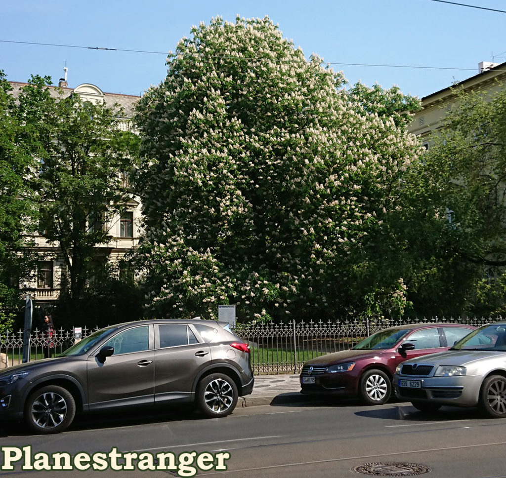 chestnut tree prague
