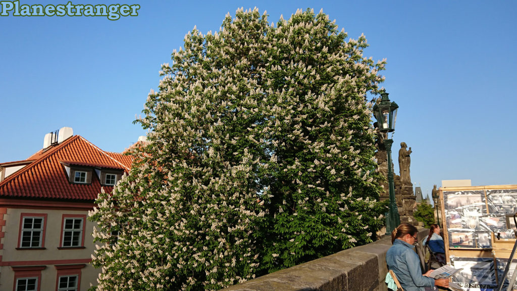 prague giant chestnut near charles bridge